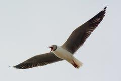Седовласая чайка кричащая Стоковое фото RF