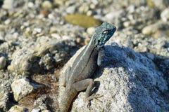 Седовласая ящерица агамы Стоковое Изображение