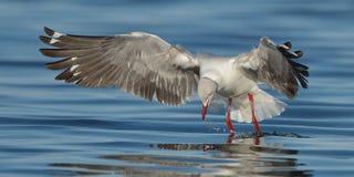 Седовласый идти чайки стоковая фотография
