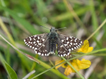 Седой греться malvae Pyrgus бабочки шкипера Стоковая Фотография RF