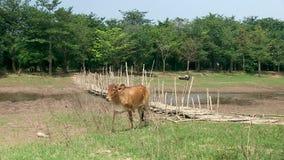 Сельская местность, бамбук, Камбоджа сток-видео