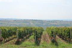 Сельская местность и сочный виноградник Стоковое Изображение