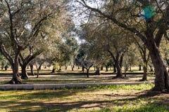 Сельская местность с оливковыми деревами Стоковая Фотография