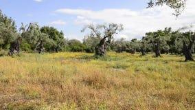 Сельская местность с оливковыми деревами видеоматериал