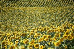 Сельская местность Тосканы - поле солнцецветов Стоковое Изображение RF