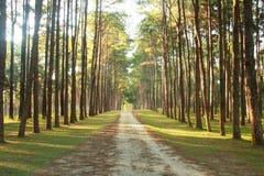 Сельская дорога с соснами Стоковые Изображения RF