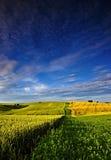 Сельский ландшафт на солнцевороте с незрелым зерном Стоковое фото RF