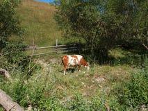 Сельский ландшафт с коровой в цветах осени где-то в Трансильвании Румынии Стоковые Фотографии RF