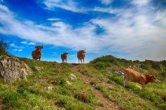 Сельский ландшафт с табуном коров Стоковое Изображение RF