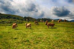 Сельский ландшафт с табуном коров Стоковая Фотография RF