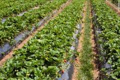 Сельское хозяйство клубники Стоковое Изображение