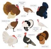 Сельское хозяйство птицы Комплект значка пород Турции Плоский дизайн Стоковые Фотографии RF