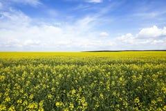 Сельское хозяйство рапс Весна стоковая фотография rf