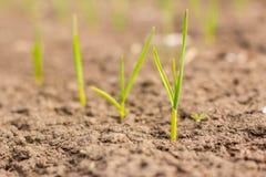 Сельское хозяйство растущие заводы Молодые заводы младенца Стоковые Изображения RF
