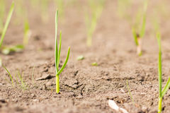 Сельское хозяйство растущие заводы Молодые заводы младенца Стоковые Фотографии RF