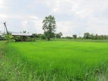 Сельское хозяйство риса в сезоне дождей Таиланде Стоковые Изображения