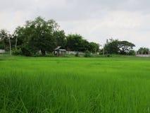 Сельское хозяйство риса в сезоне дождей Таиланде Стоковое Изображение RF