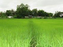 Сельское хозяйство риса в сезоне дождей Таиланде Стоковое Изображение