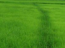Сельское хозяйство риса в сезоне дождей Таиланде Стоковые Фото