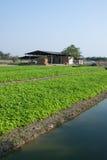 Сельское хозяйство сельдерея в Таиланде Стоковая Фотография