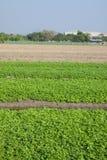 Сельское хозяйство сельдерея в Таиланде Стоковое Изображение