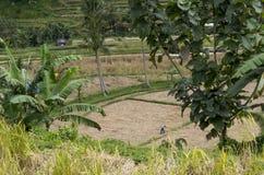 Сельское хозяйство террасного поля риса органическое Стоковые Фото