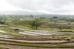 Сельское хозяйство террасного поля риса органическое Стоковая Фотография