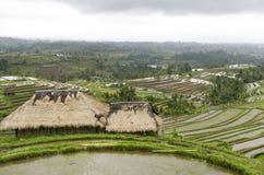 Сельское хозяйство террасного поля риса органическое Стоковое фото RF