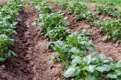 Сельское хозяйство Фото растущей молодой картошки в саде Стоковое Изображение