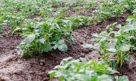 Сельское хозяйство Фото растущей молодой картошки в саде Стоковое фото RF