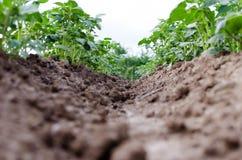 Сельское хозяйство Фото растущей молодой картошки в саде Стоковая Фотография RF