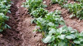 Сельское хозяйство Фото растущей молодой картошки в саде Стоковое Изображение RF