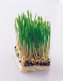Сельскохозяйственное исследование/генетическая манипуляция Стоковое фото RF