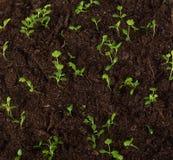 Сельдерей ростка стоковое фото rf