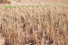 Сжатый рис в поле риса в Таиланде Стоковые Изображения RF