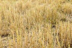 сжатый рис сена Стоковая Фотография