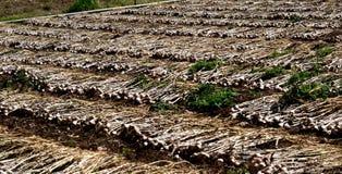 Сжатый урожай чеснока в поле Индии стоковое изображение