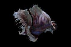 Сиамская воюя вычура Betta полумесяца Dumbo уха рыб большая стоковые фото