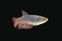 Сиамская воюя женщина рыб в темноте Стоковое Изображение RF