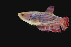 Сиамская воюя женщина рыб в темноте Стоковое Фото