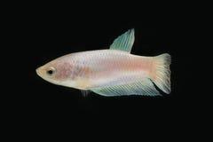 Сиамская воюя женщина цвета рыб белая в темноте Стоковые Изображения RF