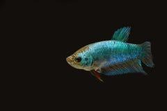 Сиамская воюя женщина цвета рыб голубая в темноте Стоковое Фото