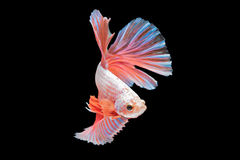 Сиамские воюя рыбы, Апельсин-голубые, рыбы betta на черном backgrou Стоковое Фото