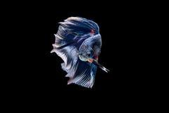 Сиамские воюя рыбы, апельсин, рыба betta на черной предпосылке Стоковое фото RF