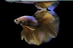 Сиамские воюя рыбы воюют желтых рыб с синью, splendens Betta, рыб Betta, полумесяца Betta Стоковая Фотография