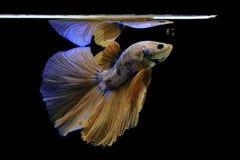 Сиамские воюя рыбы воюют желтых рыб с синью, splendens Betta, рыб Betta, полумесяца Betta Стоковая Фотография RF