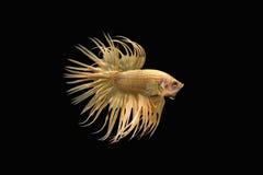 Сиамские воюя рыбы, золото, рыба betta на черной предпосылке Стоковые Изображения RF