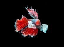 Сиамские воюя рыбы на черноте Стоковые Изображения RF