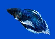 Сиамские воюя рыбы на черноте Стоковая Фотография RF