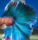 Сиамские воюя рыбы на черноте Стоковое фото RF